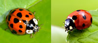 Asian Beetle(Left) Vs Ladybug(Right)